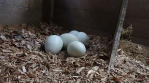 Eggs in Little Coop