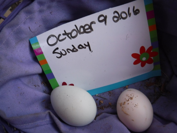 10-9-2016-egg-a-day-4