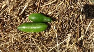 last-garden-harvest-10-10-2016-9