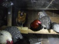 chickens (2)