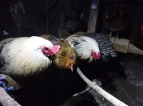chickens (3)