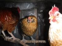 chickens (5)