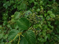 July 24, 2017 Arrowwood Viburnum i think, near 'Kyle's ditch' where he takes a dip on our runs