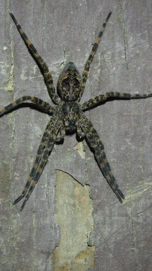 Wolf Spiders (1)