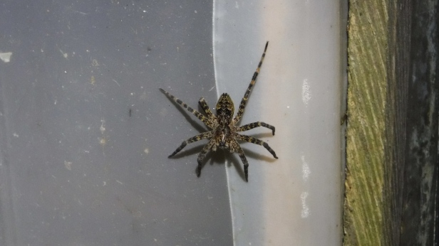 Wolf Spiders (2)