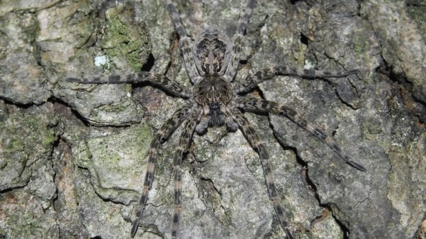 Wolf Spiders (4)