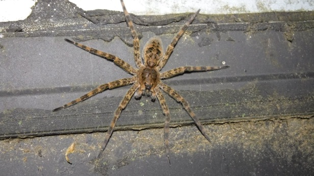 Wolf Spiders (6)