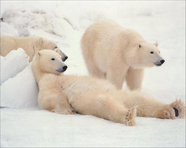 lazy_polar_bears